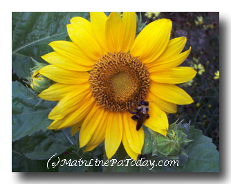 Sunflower Main Line Chester County Real Estate