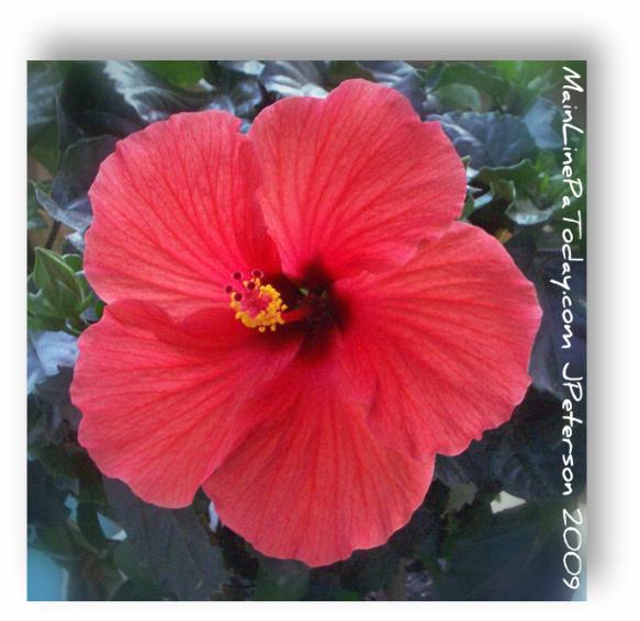 Hibiscus Philadelphia Flower Show